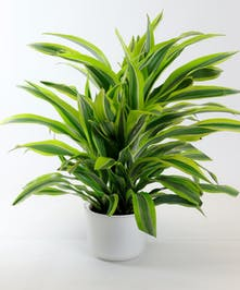 Lemon-Lime Dracaena