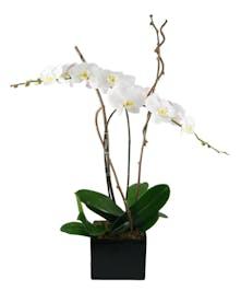Phaleonopsis  Orchid Double spike Plant