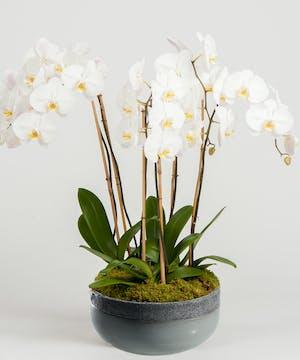 White Phaleonopsis Orchids, San Diego Florist