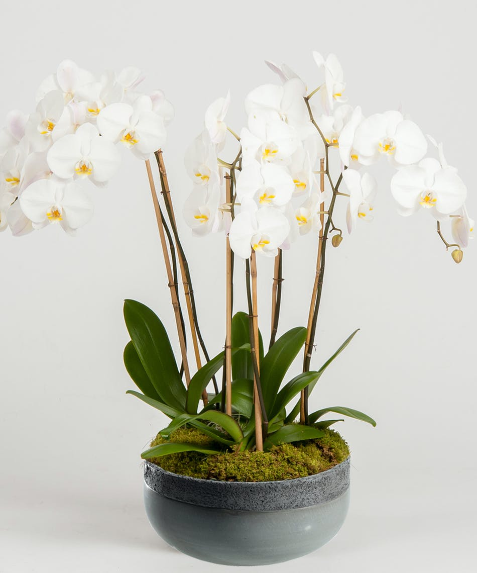 Orchid Elegance 5 Spikes