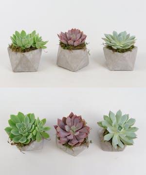 Succulent Geo Trio