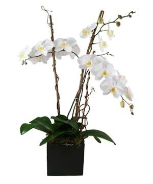 Phaleonopsis Orchid Triple Spike Plant