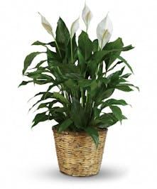Gorgeous Peace Lily Plant