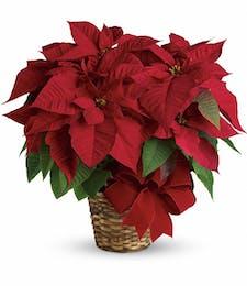 Christmas Poinsettia (Medium)