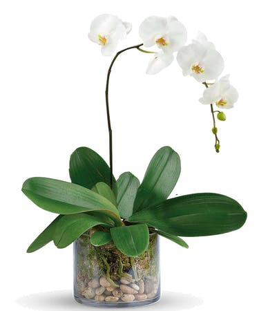 Exotic Orchid San Diego Exotic Orchids San Diego White Orchids San